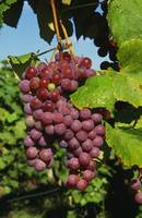 Cluster of grapes ripe for harvesting