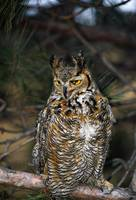 Great horned owl (Bubo virginianus) on pine tree