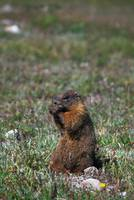 Yellow-bellied marmot (Marmota flaviventris) sitt