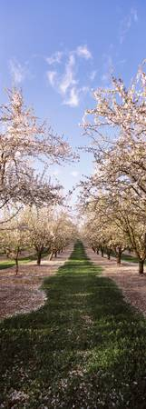 Almond trees in an orchard