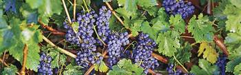 Close-up of bunches of grapes on a vine