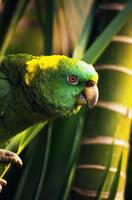 Yellow-naped amazon parrot on perch