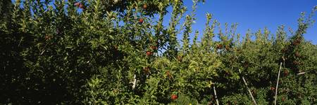 Low angle view of apple trees laden with fruits