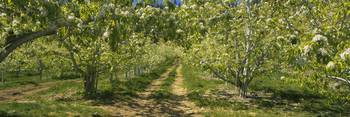 Pear trees in a farm
