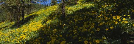 Arrowleaf balsam root on a hillside