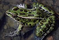 High angle view of northern leopard frog (Rana pi
