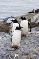 Three gentoo penguins on rocky island