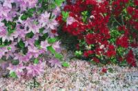 Fallen flower petals around blooming azalea flowe