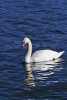 Mute swan (Cygnus olor) swimming on river