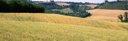 Rolling hills wheat Tuscany Italy