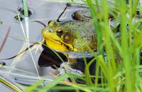 Green frog (Rana clamitans) hiding behind pond gr