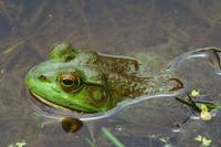 High angle view of bullfrog (Rana catesbeiana) in
