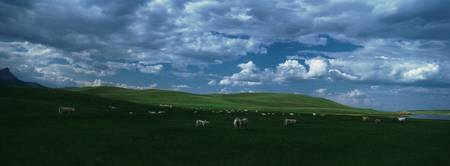 Charolais cattles grazing in a field