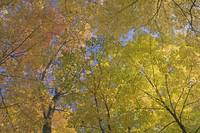 Autumn color maple tree canopy