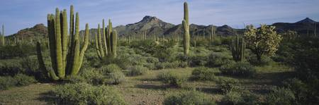 Organ pipe cactus on a landscape