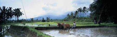 Farmer and oxen plowing a rice paddy field