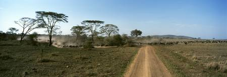 Herd of wildebeests and zebras crossing a dirt ro