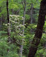 Mountain laurel blooming in forest