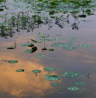 Lily pads on Loakfoma Lake