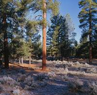 Frosted underbrush in ponderosa pine tree forest