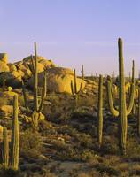 Cactus on a landscape