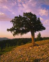 Douglas fir on a landscape