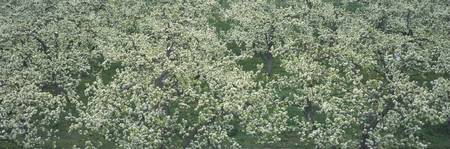 Fruit Tree Blossoms Okanagan Valley British Colum