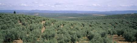 Olive trees on a landscape along Rt E5 East of Co