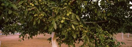 Walnuts growing on a tree