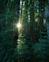 Low angle view of sunstar through redwood trees
