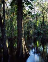 Trees growing in reflective water of Loxahatchee