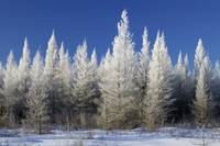 Hoarfrost on tamarack trees