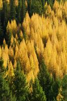 High angle view of autumn color larch trees in pi