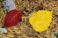 Fallen autumn color leaves in pine needles