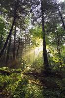 Sunbeams in dense forest