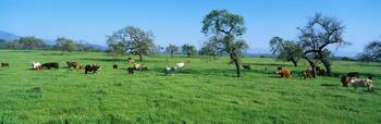 Cattle in Spring Pasture Santa Ynez Valley CA
