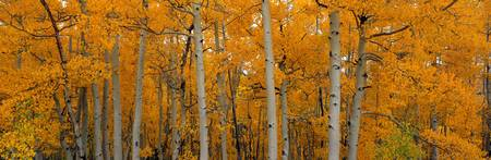 Quaking Aspens Dixie National Forest UT