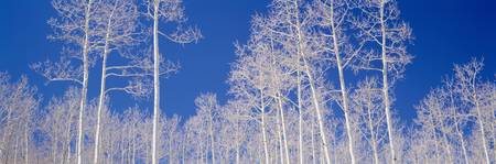 Quaking Aspen Trees in Winter UT