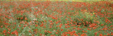 Poppies growing in a field