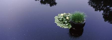 Water lilies with a potted plant in a pond