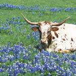 """""""Texas Longhorn cow sitting on a field"""" by Panoramic_Images"""