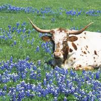 """Texas Longhorn cow sitting on a field"" by Panoramic_Images"