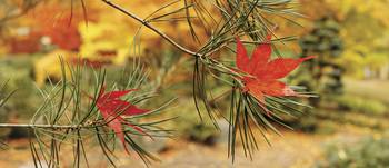 Maple leaves stuck on a pine tree branch