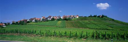 Vineyard Zellenberg Alsace France