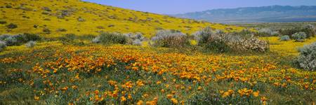 Poppy Preserve, Antelope Valley, California