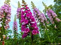 Foxgloves!!!