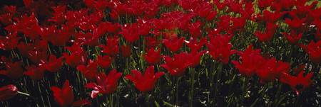 Close-up of red tulips in a field
