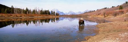 Bull Moose Grand Teton National Park WY