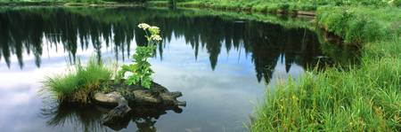 Cow Parsnip (Heracleum maximum) flowers in a pond