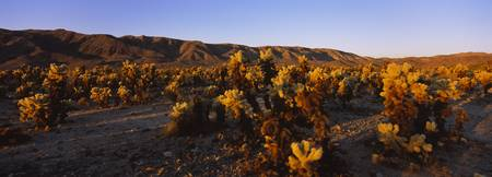 Cholla cactus plants on a landscape